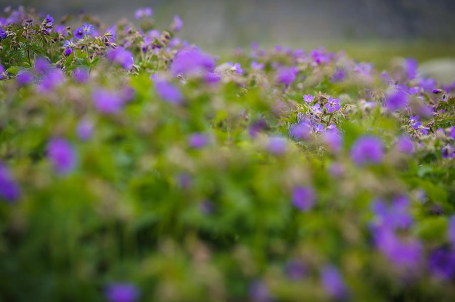 fleur en été en Islande