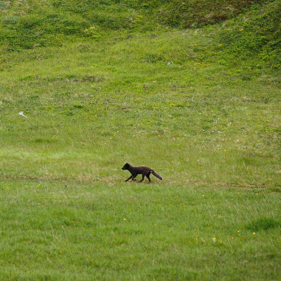 renard polaire dans la réserve naturelle d'hornstrandir