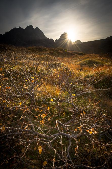 bouleau jaune sur les lofoten durant l'automne en norvège
