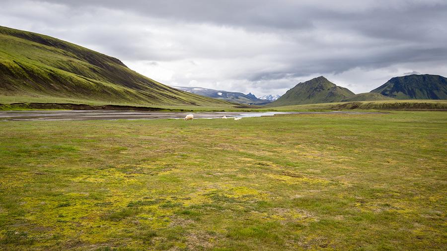 moutons dans un pré aux alentours de Landmannahellir en Islande