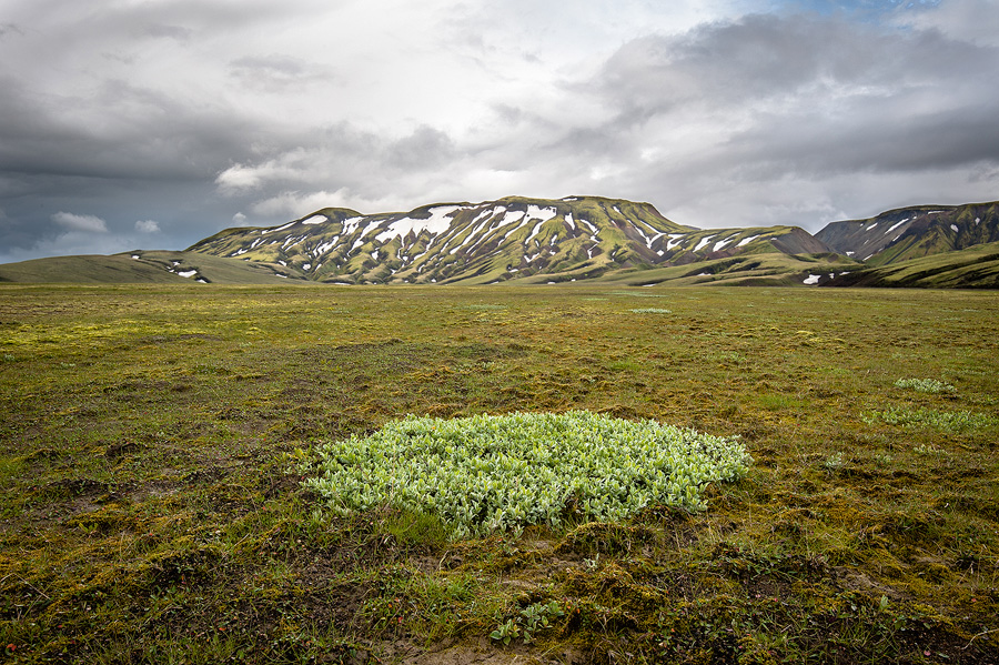pres de la F225 , bosquet de saule laineux ( Salix lanata )