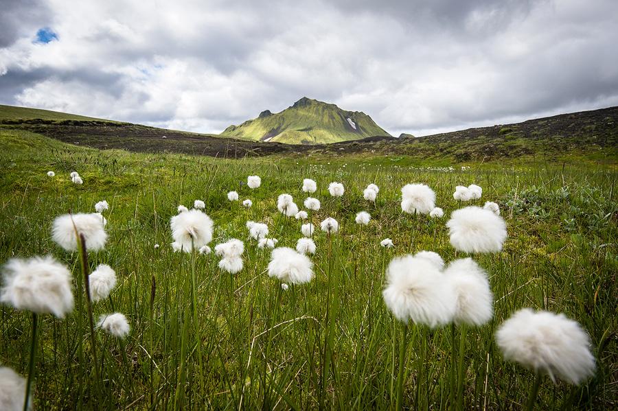 gros plan sur des linaigrettes en Islande dans les fjallabak