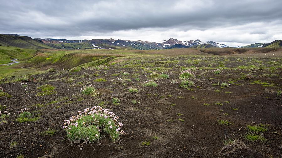 bosquet d'armerie maritime en Islande