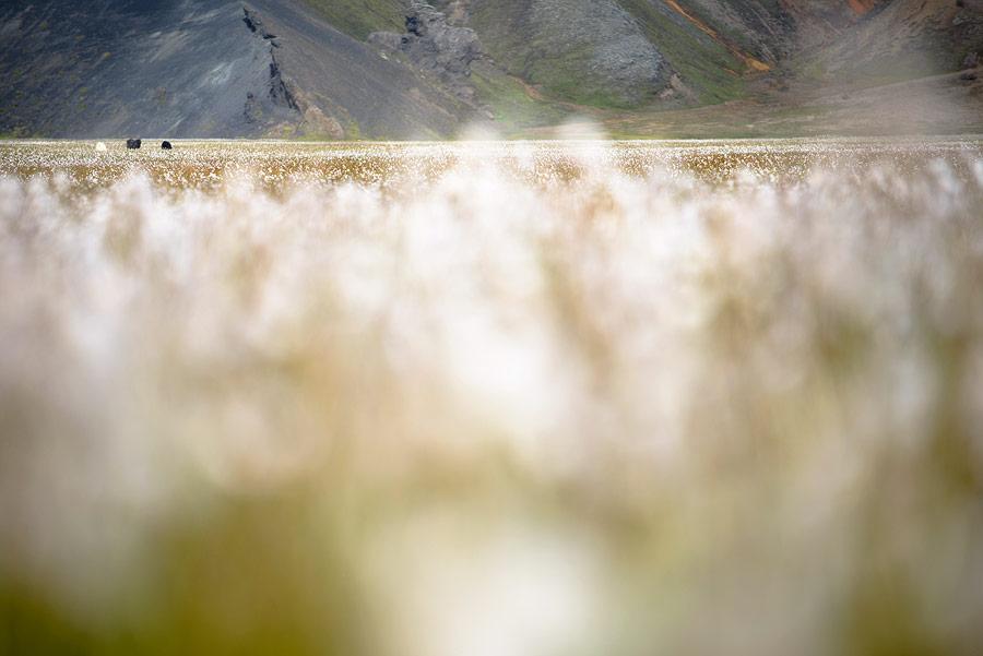 mouton dans un champ de Linaigrettes au landmannalaugar en Islande