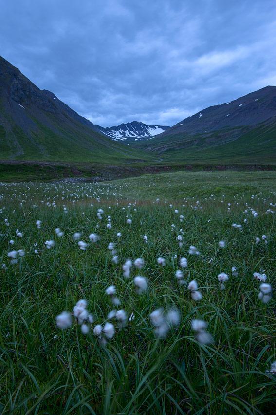 champ de linaigrettes près d'Olafsjördur, en Islande