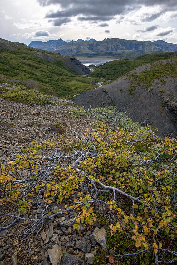 arbuste près de Stafafell en Islande