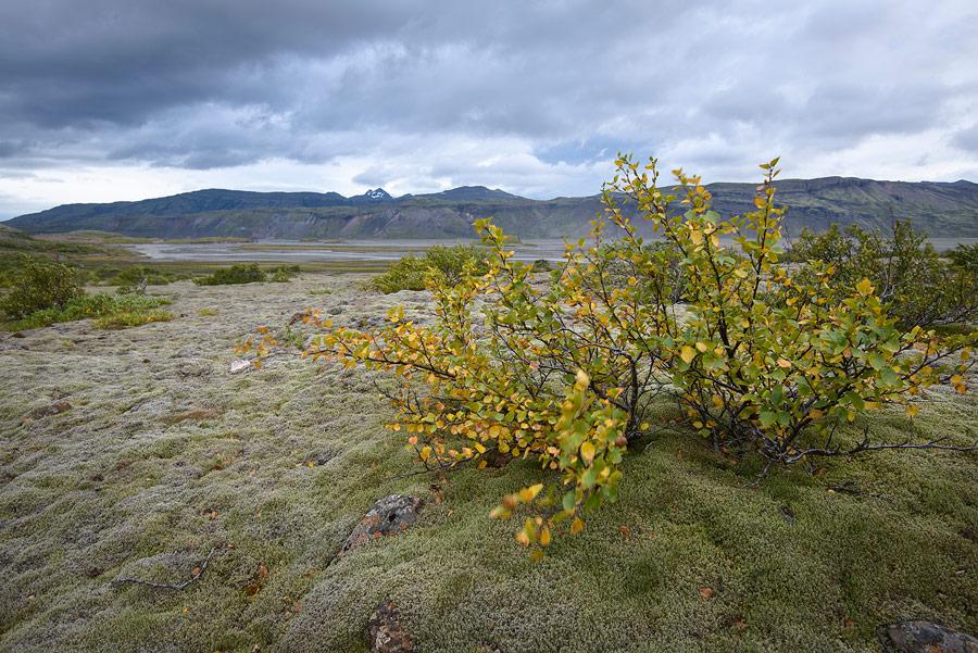 bouleau nain en aval réserve naturelle de Lónsöræfi