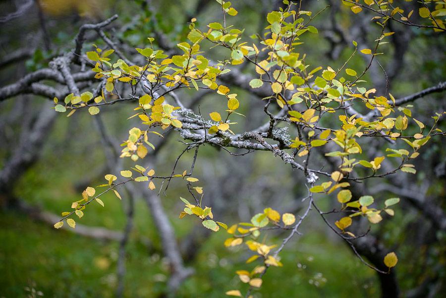 Bouleau nain dans le lonsoraefi en Islande