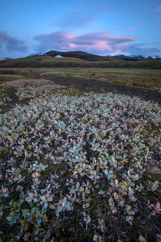 gros plan sur des saules laineux en Islande