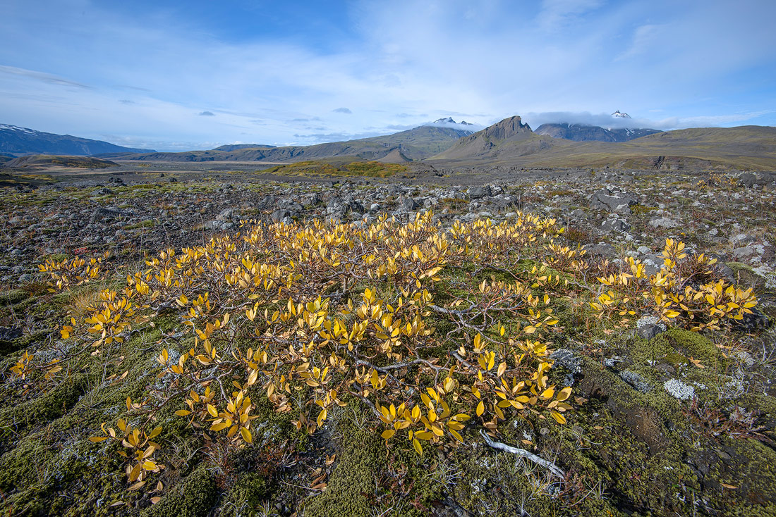 saule arctique près de thorsmörk en Islande