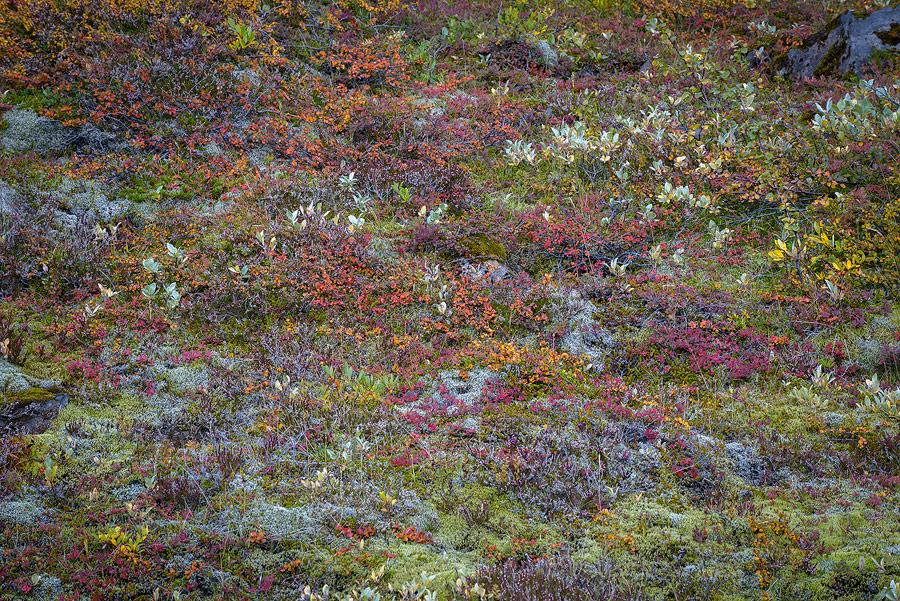 gros plan sur la flore islandaise à l'automne
