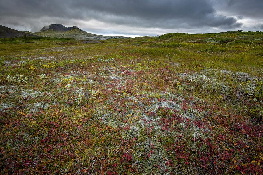 myrtille et mousses à l'automne dans le parc national de Skaftafell au sud de l'Islande