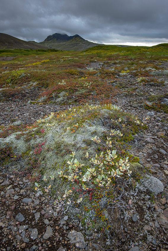 saule laineux dans le parc national de Skaftafell au sud de l'Islande