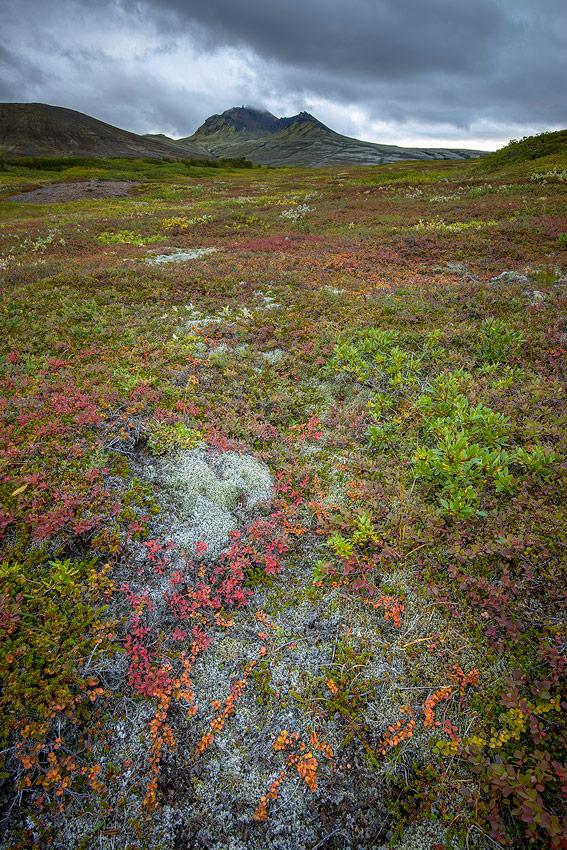 flore islandaise à l'automne et kristinartidar dans le parc national de Skaftafell au sud de l'Islande