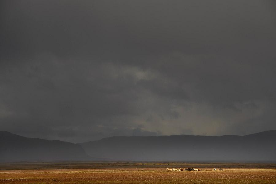 Chevaux islandais dans la péninsule de snaefellsnes en Islande