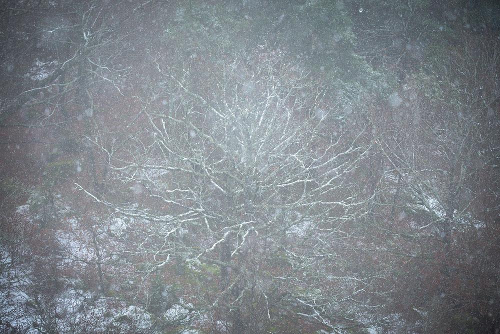 Arbre couvert de neige, vallée de la Seuge, Auvergne