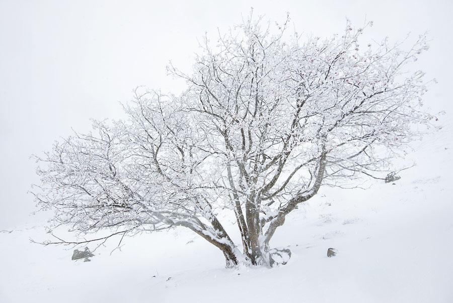 Arbre couvert de neige, hiver en Auvergne