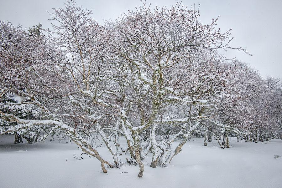 monts du cantal, arbre enneigé en Auvergne