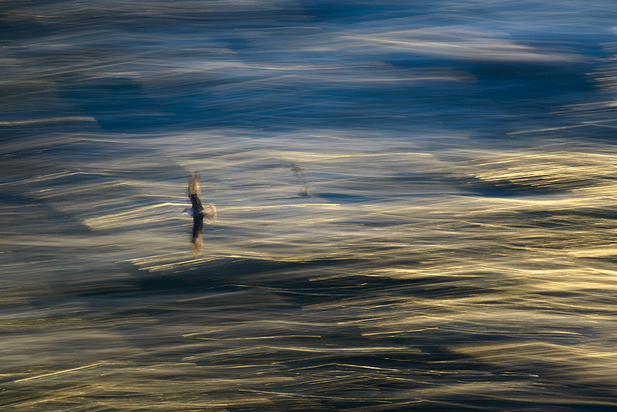 Goéland marin en filé