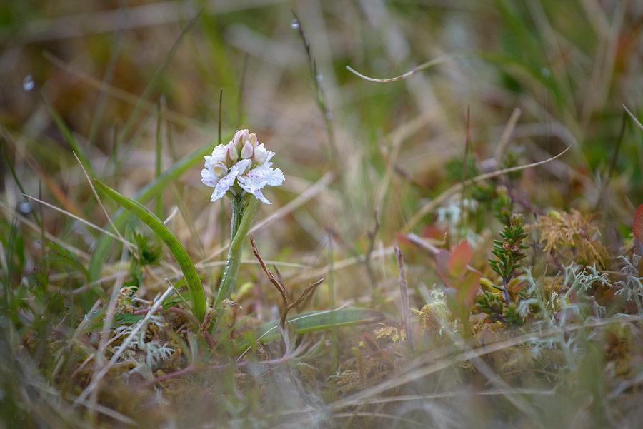 flore des îles féroés
