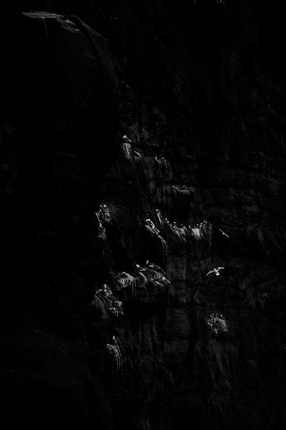 goelands sur les Îles féroé