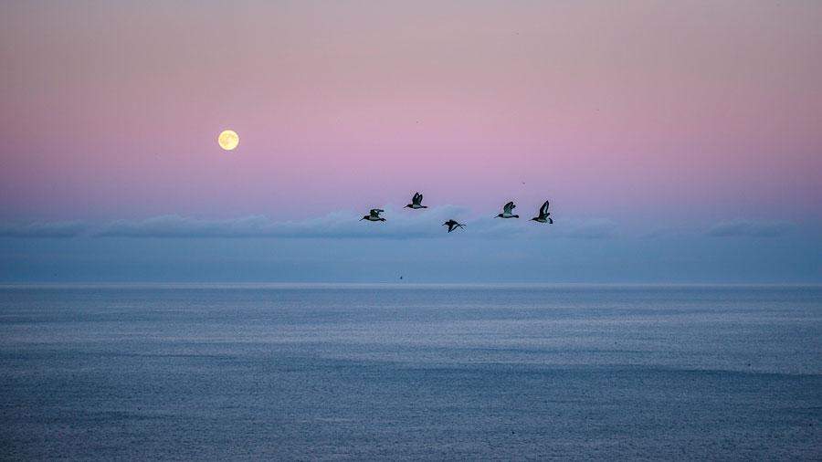 vol d'huitrier-pie