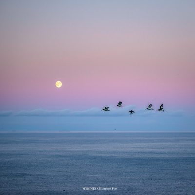 huitrier pies sur l'île de Mykines