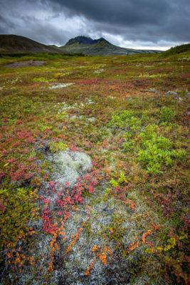 Paysage d'automne : Myrtille et bouleau nain dans le parc national du Vatnajökull à Skaftafell